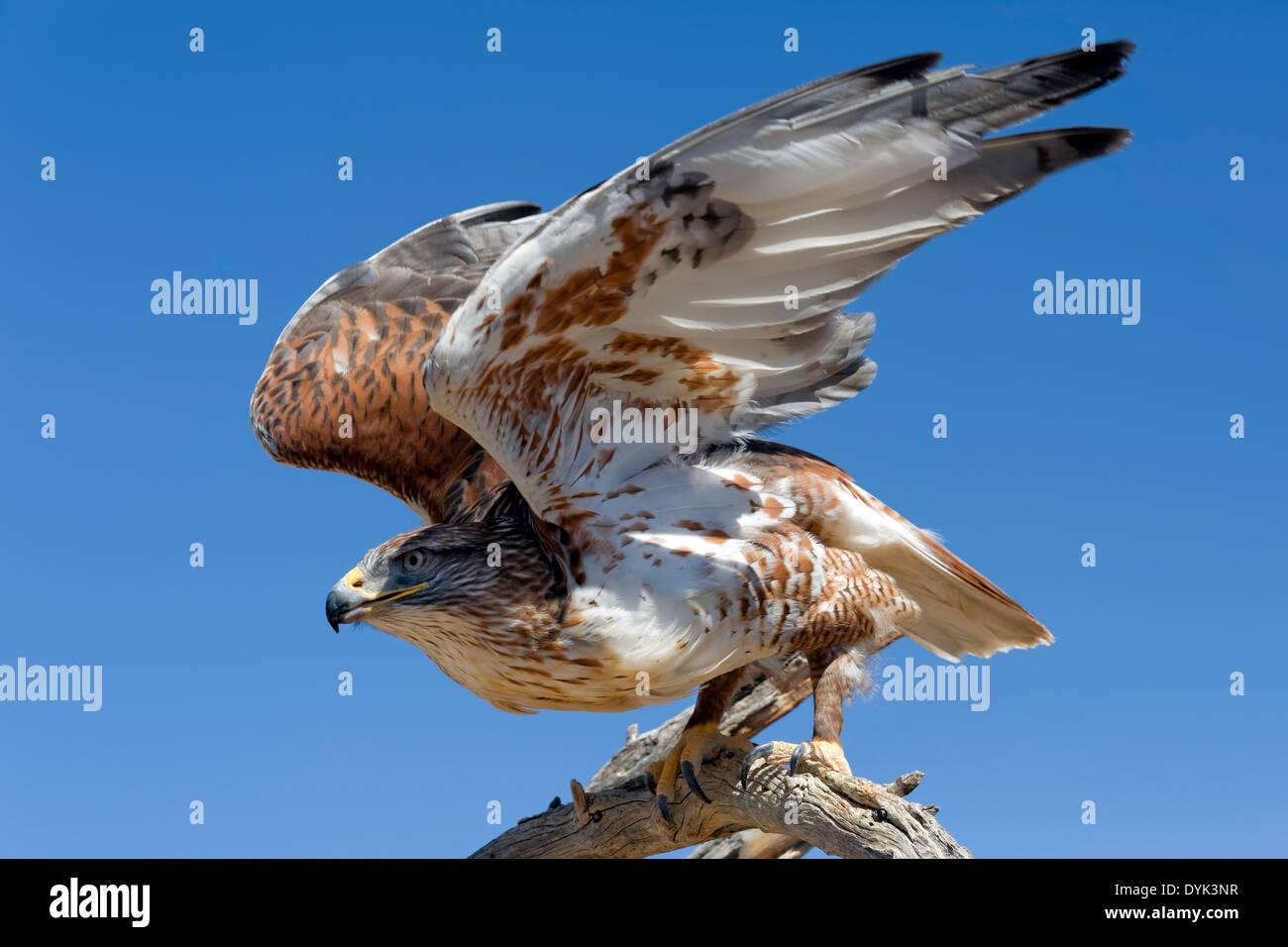 Ferruginous Hawk (Buteo regalis) - Stock Image