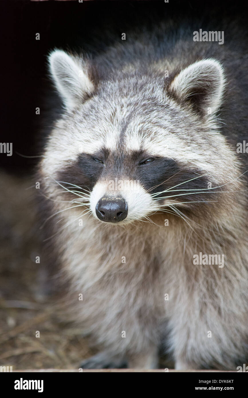 Page 1 Of 2 Racoon Closing Eyes