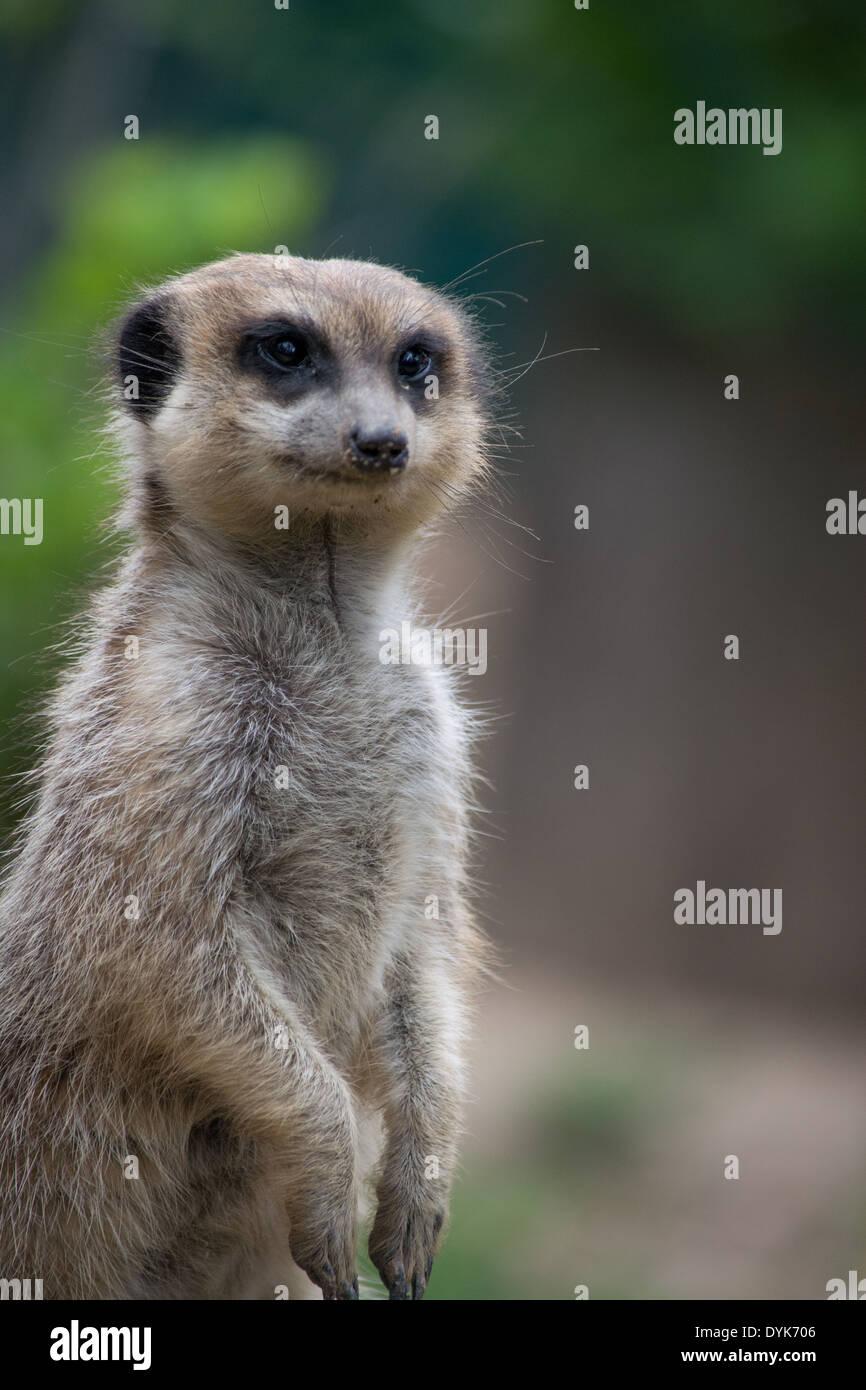 a meerkat looking ahead - Stock Image