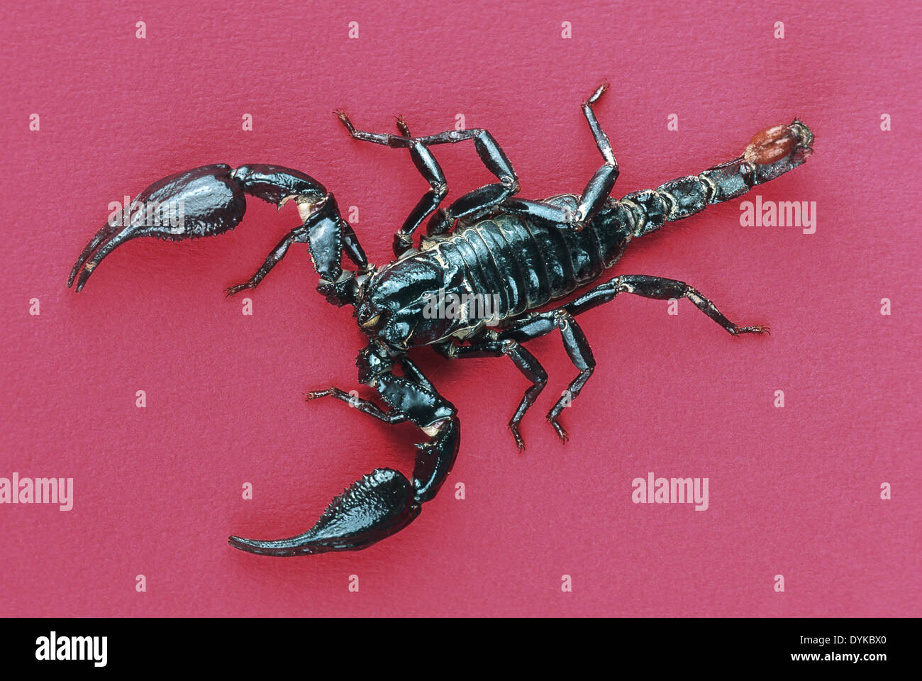 Skorpion, scorpion, Blauer Thai. | scorpion, blue Thai. - Stock Image