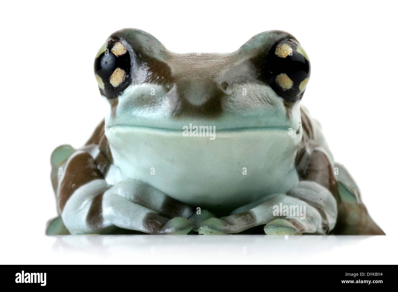 amazonian canopy frog (Phrynohyas resinifictrix), cutted out. Stock Photo