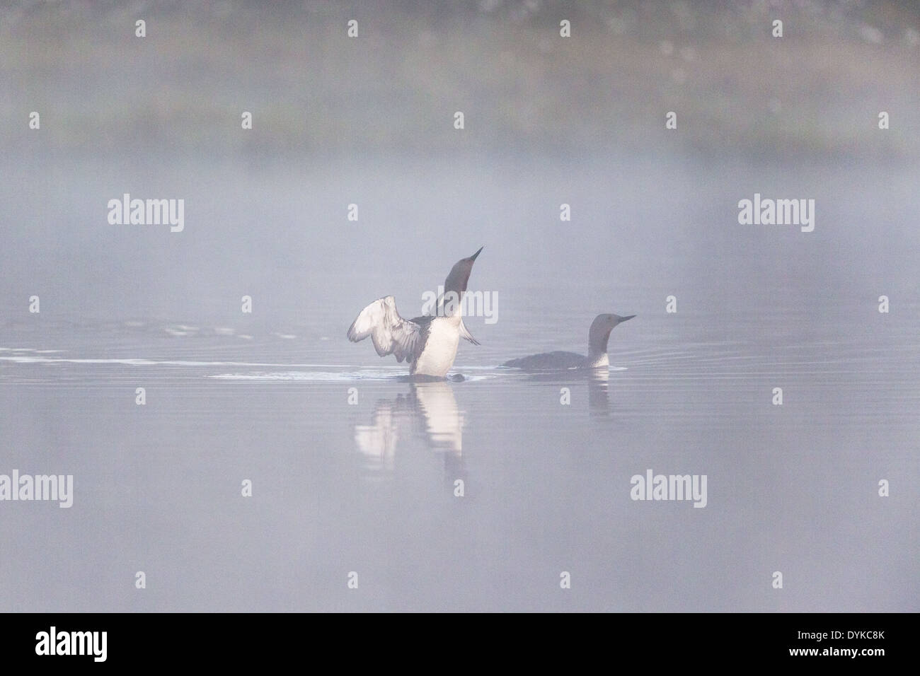 Red throated loon performing mating games in a foggy lake - Stock Image