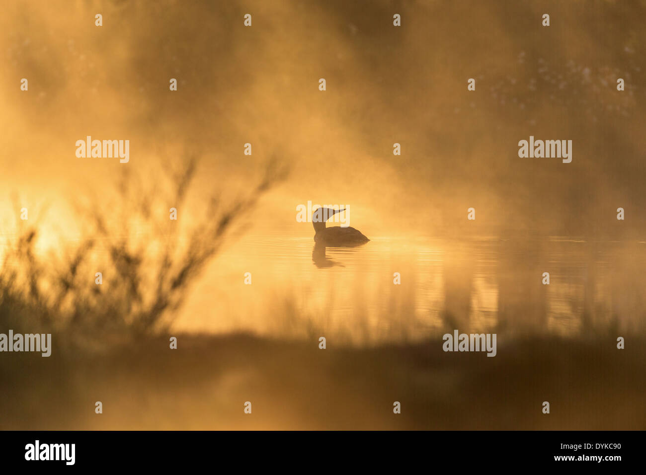 Red throated Loon in in morning fog - Stock Image