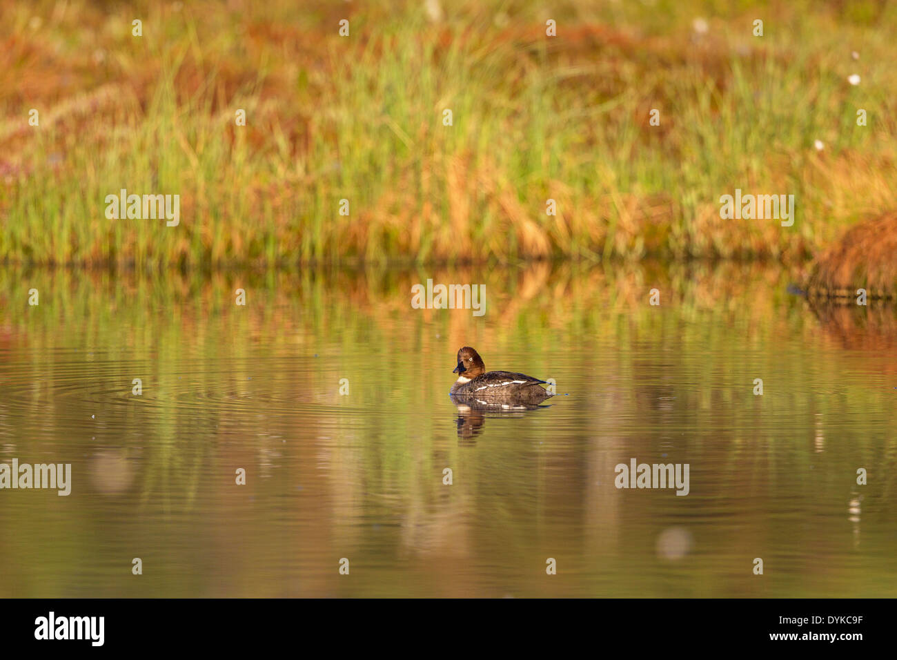 Goldeneye swimming in the lake - Stock Image