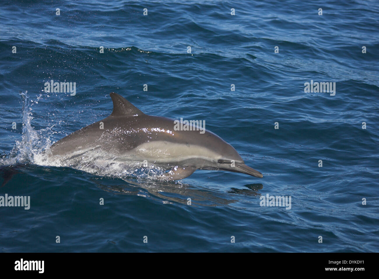 Kapdelfin (Delphinus capensis) springt, leaping - Stock Image