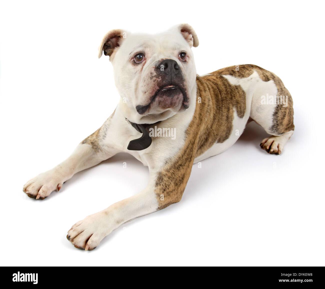 dog english bulldog pet englische Bulldogge - Stock Image