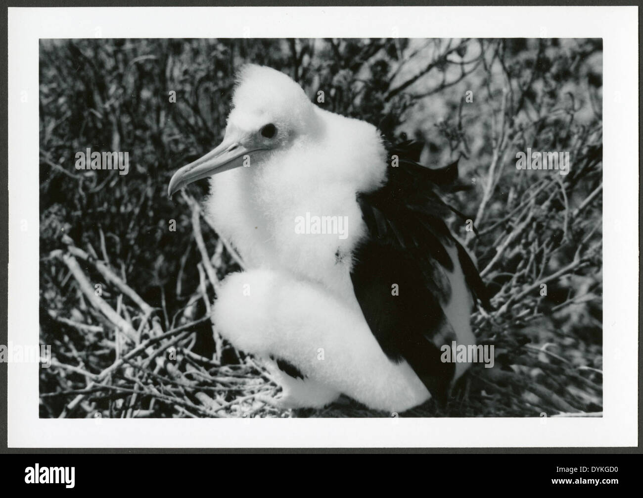 Fregata minor [Great Frigatebird] 50 days old, on Christmas Island [Kiritimati], Kiribati, 1967. - Stock Image