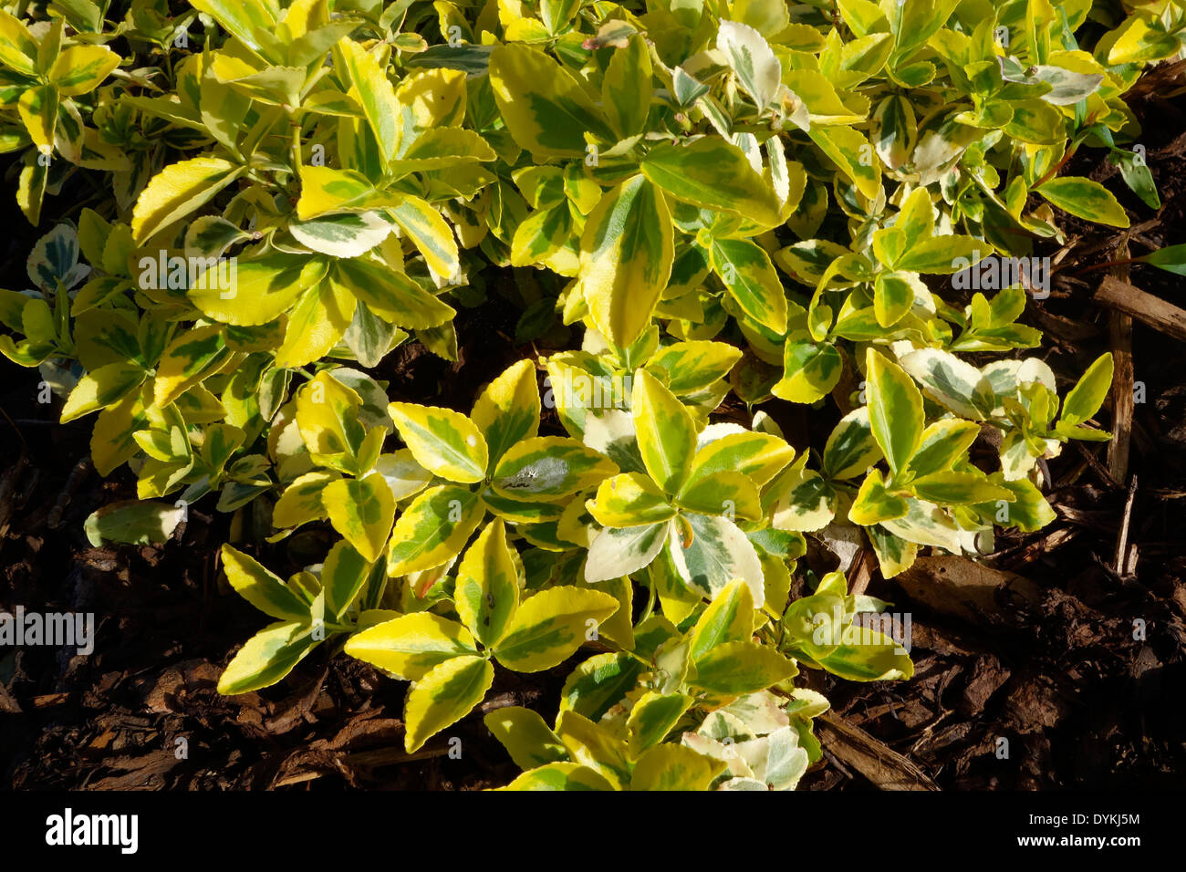 Euonymus fortunei cultivar 'Emerald 'n' Gold' - Stock Image