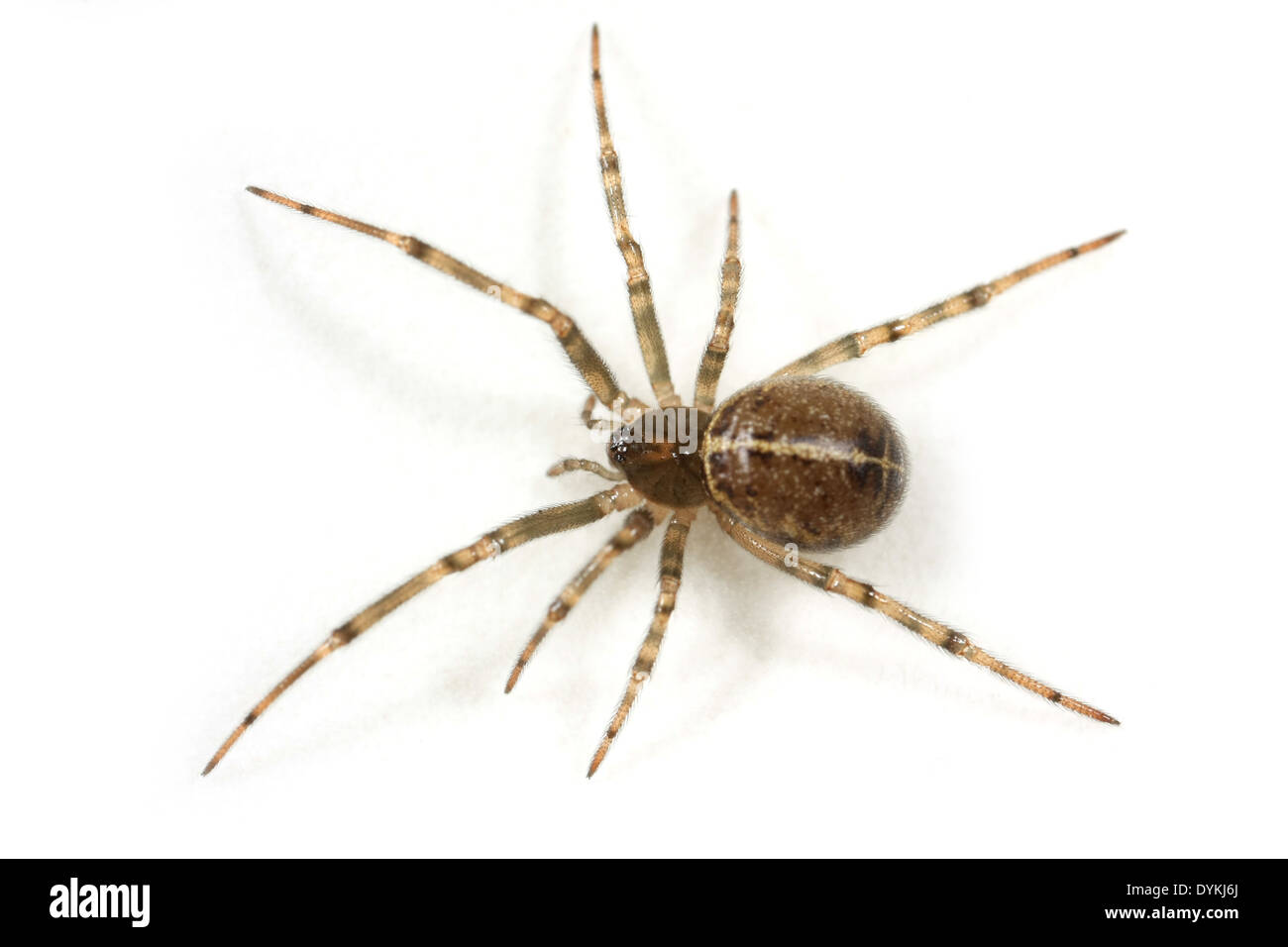 Female Steatoda castanea spider, part of the family Theridiidae - Cobweb weavers. - Stock Image