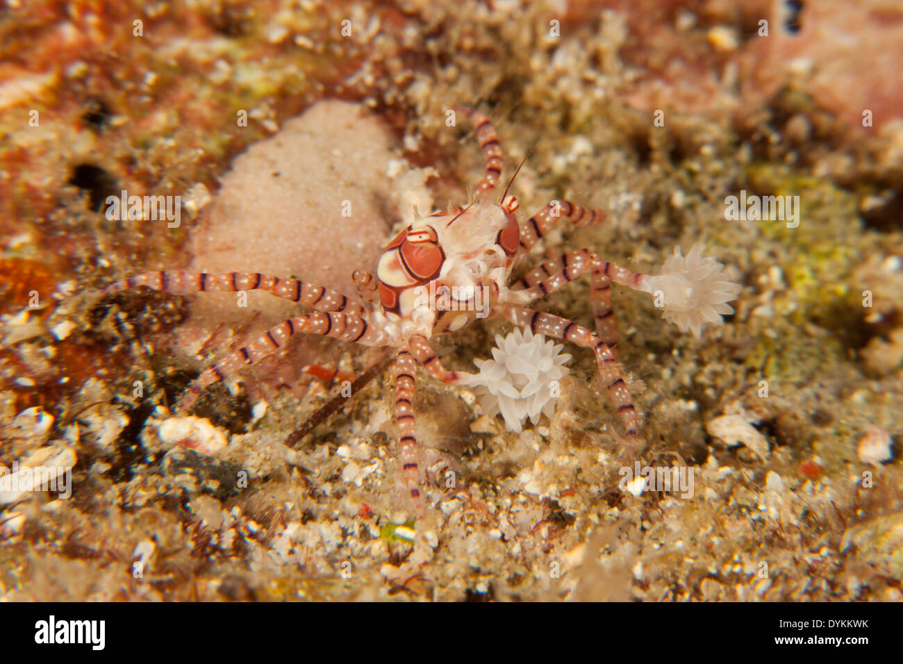 Mosaic Boxer Crab (Lybia tesselata) in the Lembeh Strait off North Sulawesi, Indonesia. - Stock Image