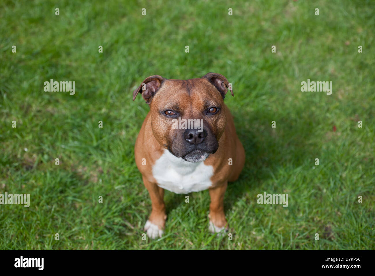 Staffordshire Bullterrier - Stock Image