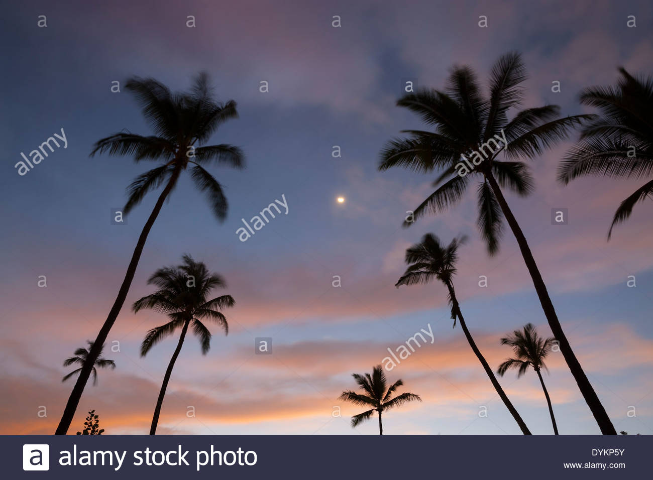 The moon shines between coconut palm trees (Cocos nucifera) at sunset at Makena Beach, Maui, Hawai`i. - Stock Image