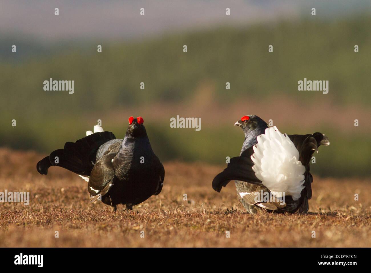 Black grouse (Tetrao tetrix) males displaying at lek site, Aberdeenshire, Scotland. - Stock Image