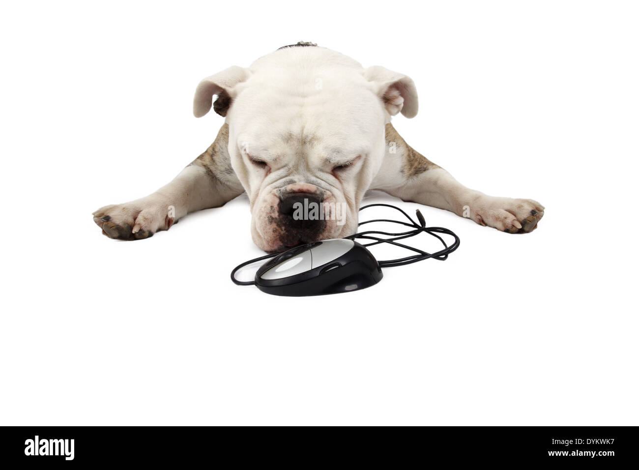 Englische Bulldogge, Canis lupus f. familiaris, English bulldog - Stock Image