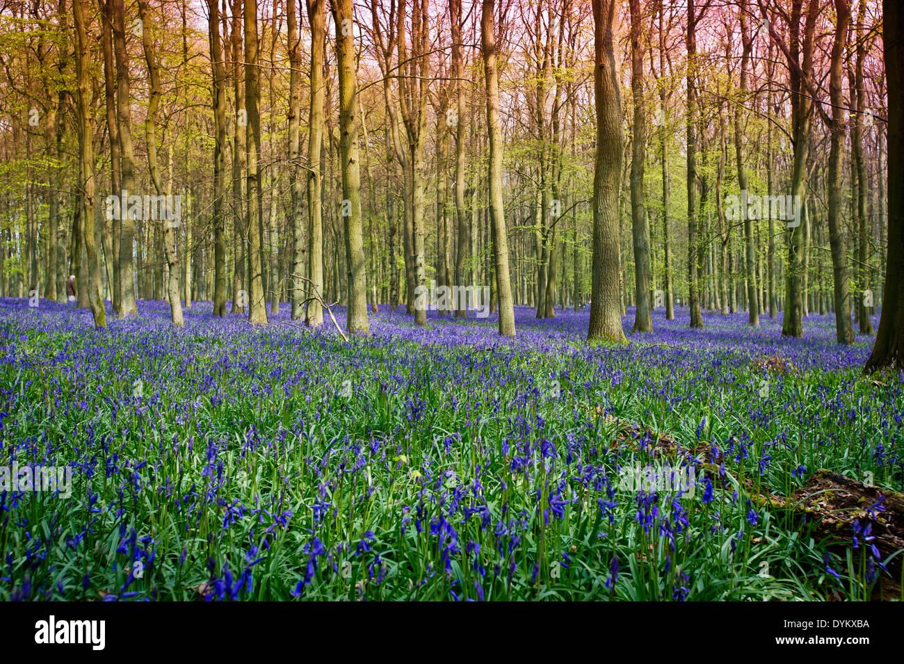 Sunlight on bluebells in Ashridge woodland, Dockey Wood - Stock Image