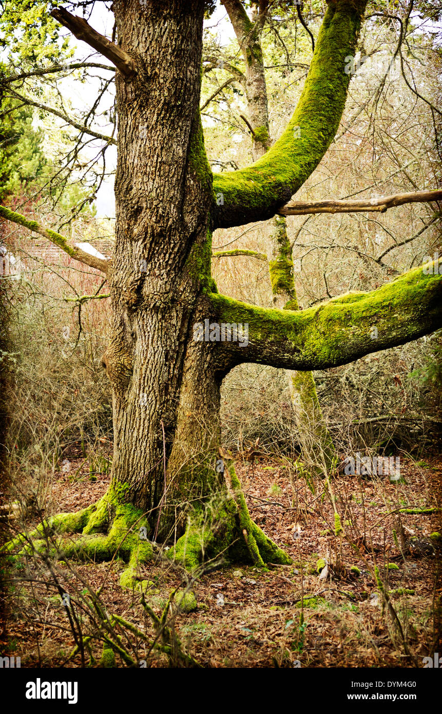 Big moss covered tree trunk with large branches. Mystical magical forest scene with an artistic texture. Salt Spring Island, BC. - Stock Image