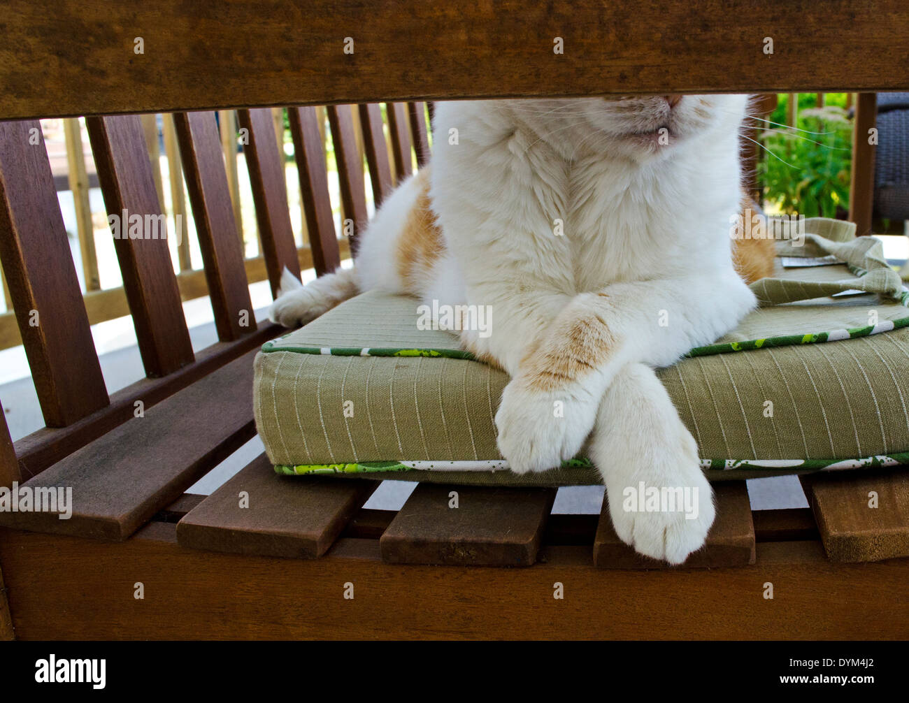 White and orange cat lounging on cushion and wood bench in the summertime.  Relaxing cat with paws crossed. - Stock Image