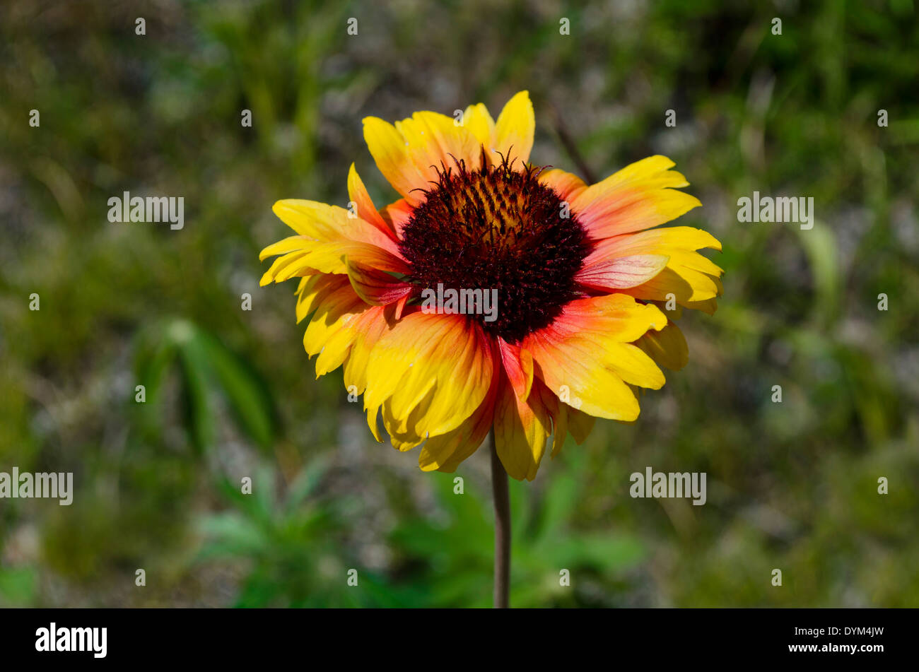 Single flower of the Firewheel or Indian Blanket (Gaillardia pulchella), a wildflower of the Aster family.  British Columbia, CA - Stock Image