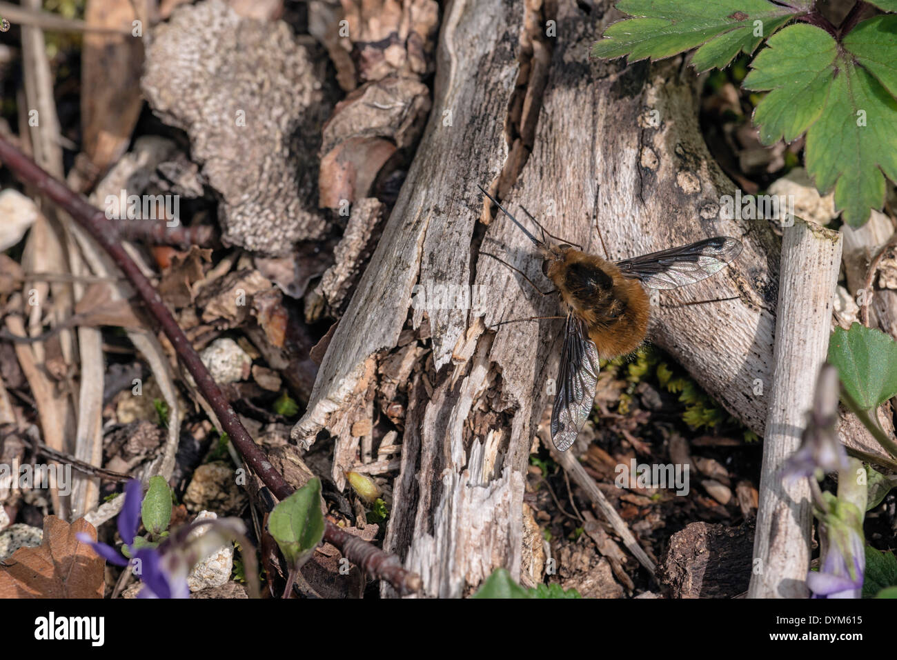 Bee fly Bombylius major; insect; invertebrate - Stock Image