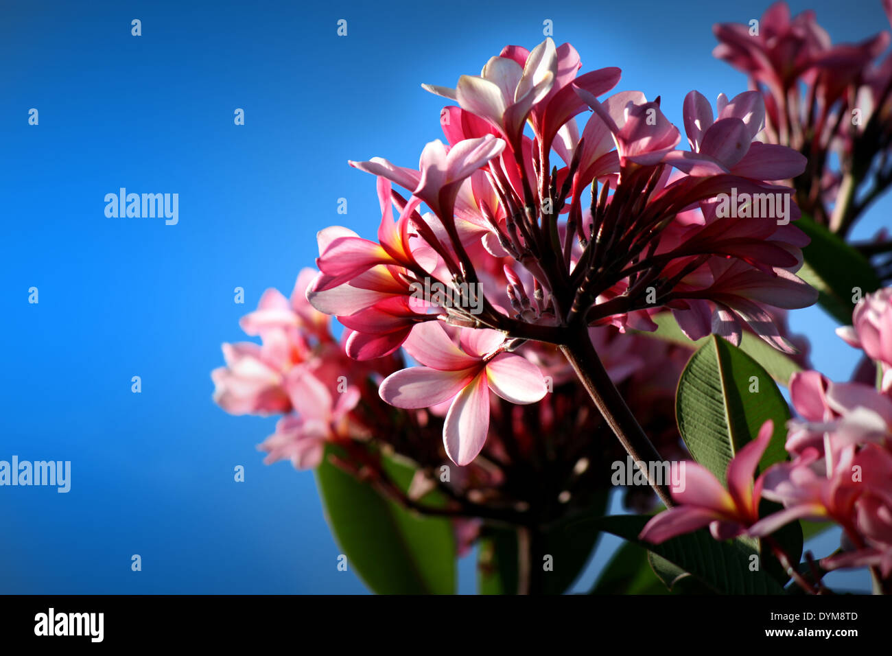 Frangipani Flower - Stock Image