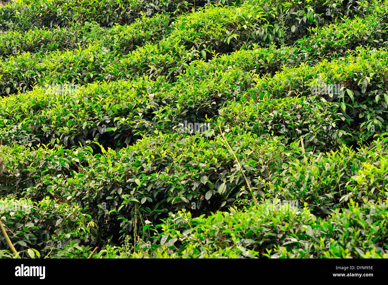 Tea plantation, Ella, Uva, Sri Lanka - Stock Image