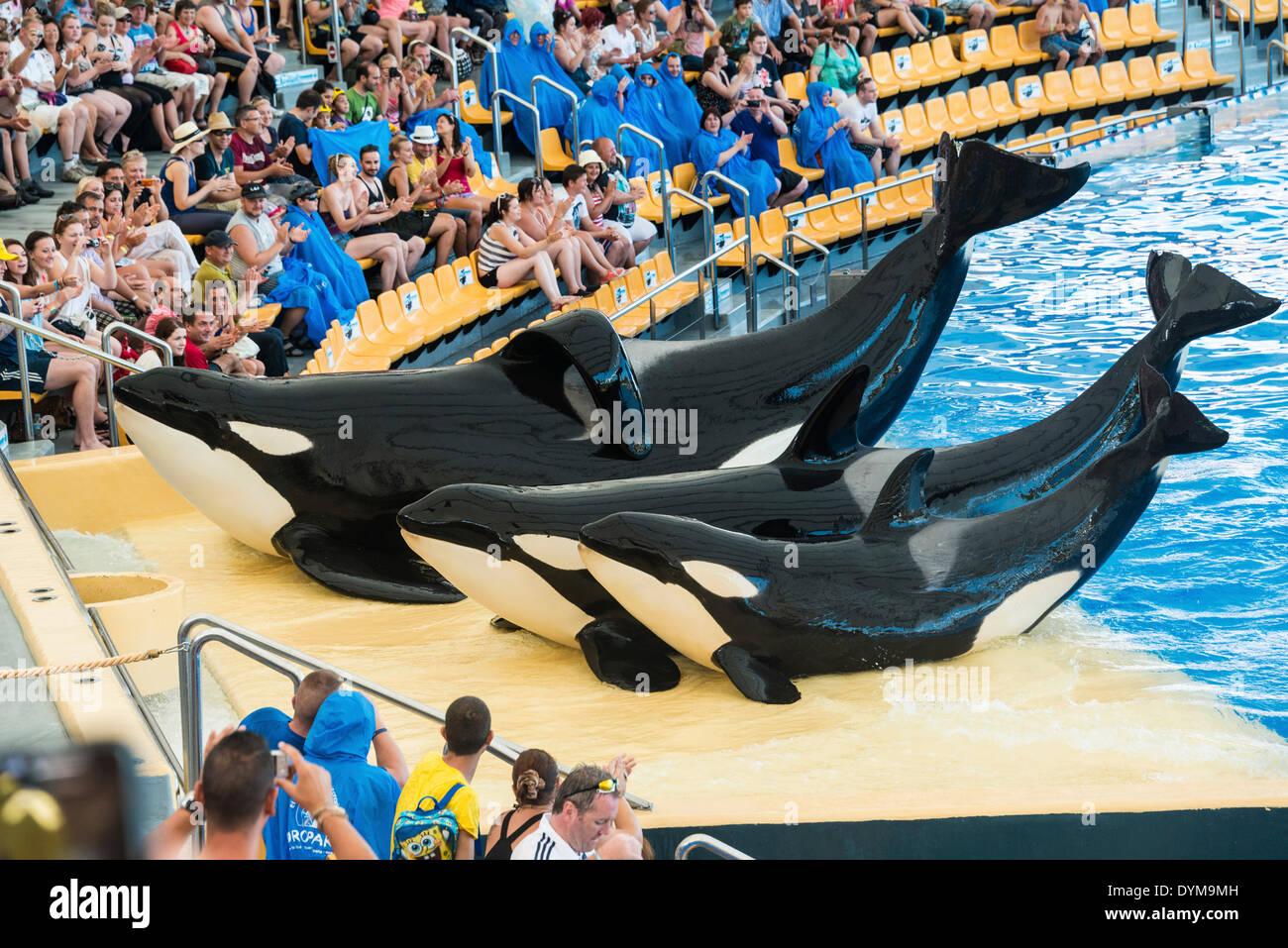 Three Killer Whales or Orcas (Orcinus orca) on land, Orca Show, Loro Parque zoo, Puerto de la Cruz, Santa Cruz de Tenerife - Stock Image