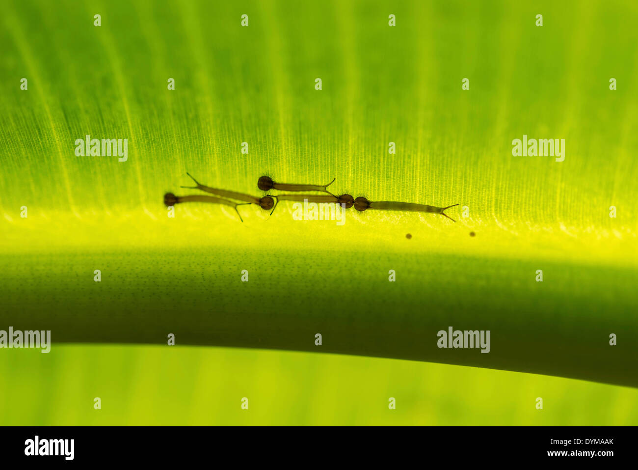 Young caterpillars of the Forest Giant Owl (Owl Butterfly) on the underside of a banana leaf, captive, native to South America - Stock Image