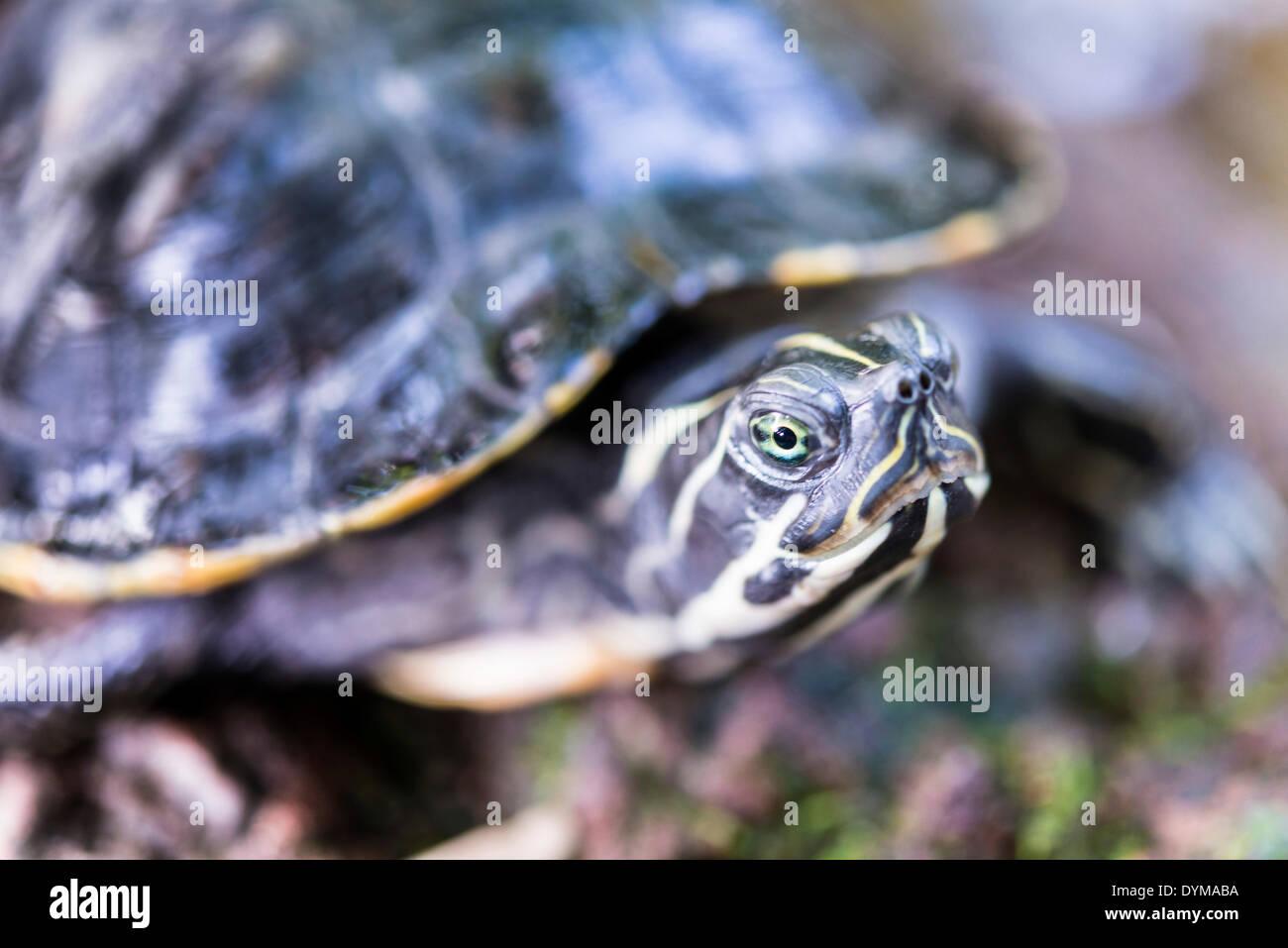 Florida Redbelly Turtle (Pseudemys nelsoni), native to Florida Stock Photo