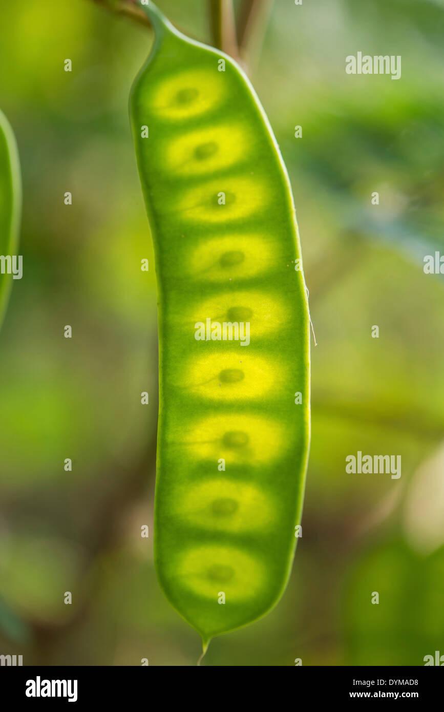 Seed pod, Albizia or Plume Albizia (Paraserianthes lophantha) - Stock Image