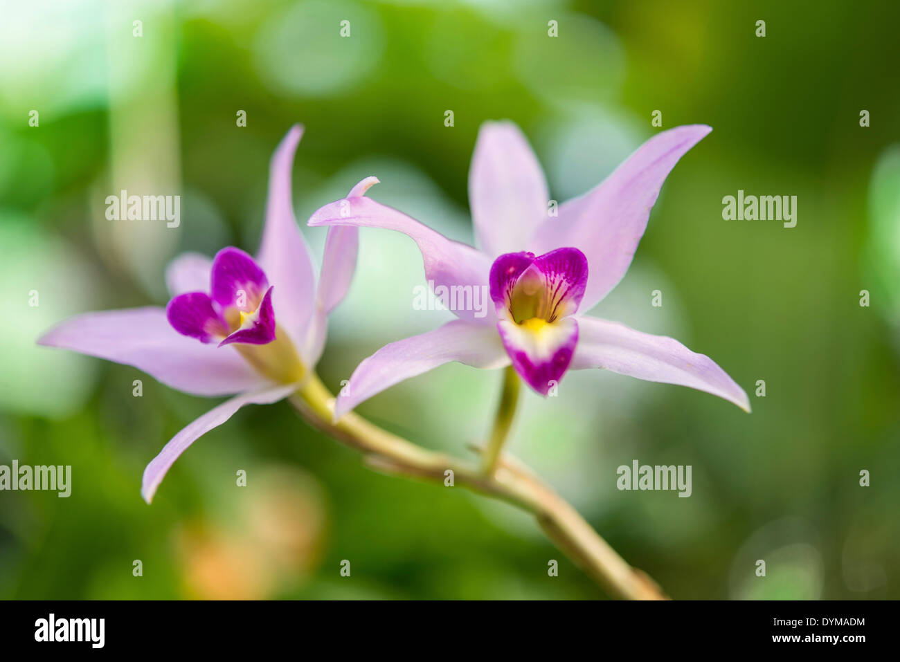 Pink Orchid (Orchidaceae) - Stock Image