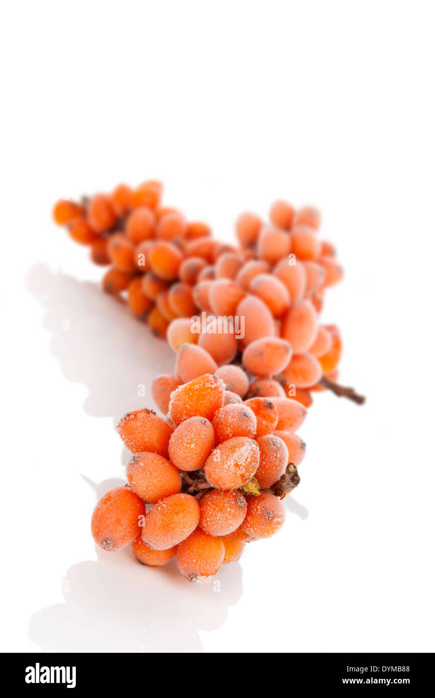 Sea-bucktorn twig with frost on berries isolated on white background. Natrural antioxidant, alternative medicine Stock Photo