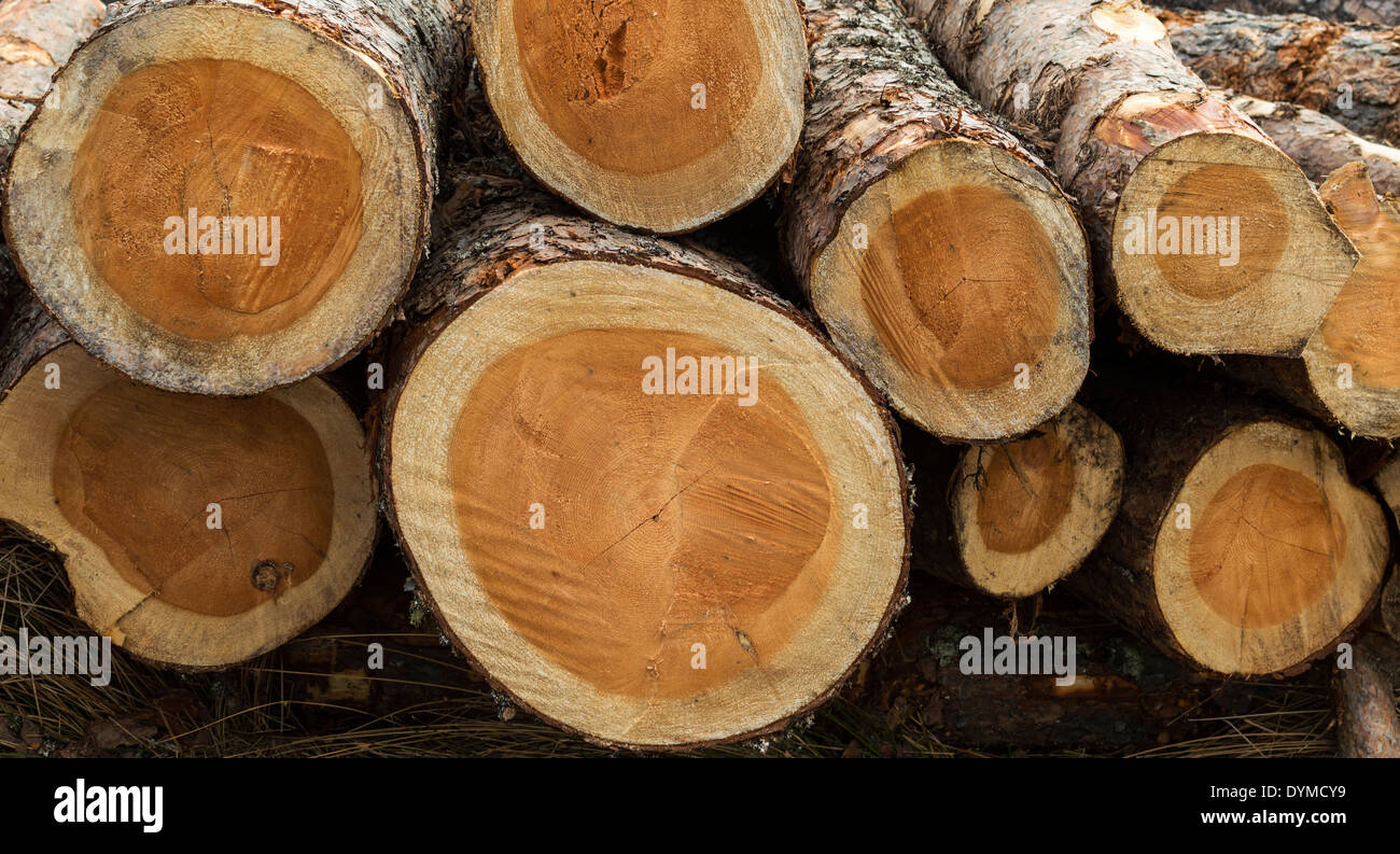 Cut Pine Trees Or Logs End On Showing Growth Rings The Art