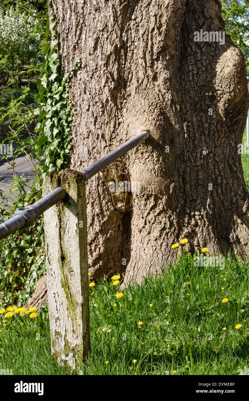 An old poplar tree grown completely around a handrail - Stock Image