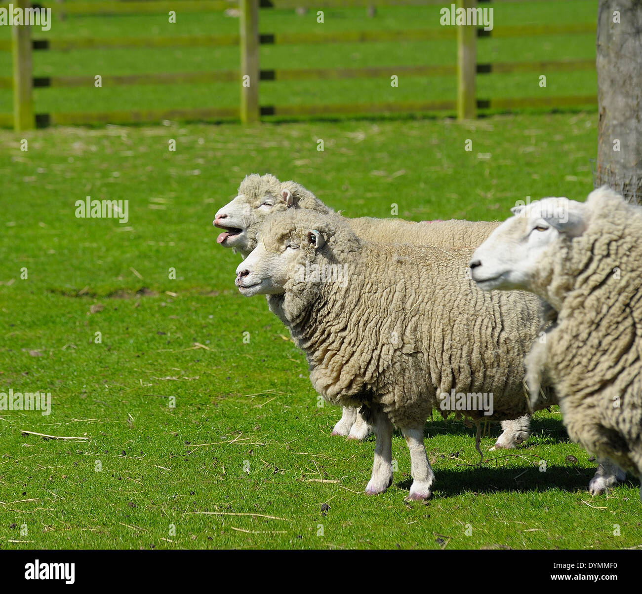 sheep bleating in a field England UK - Stock Image