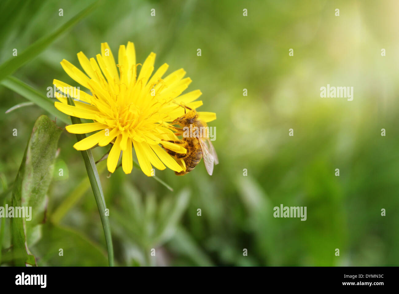 bee sip nectar from yellow flower - Stock Image