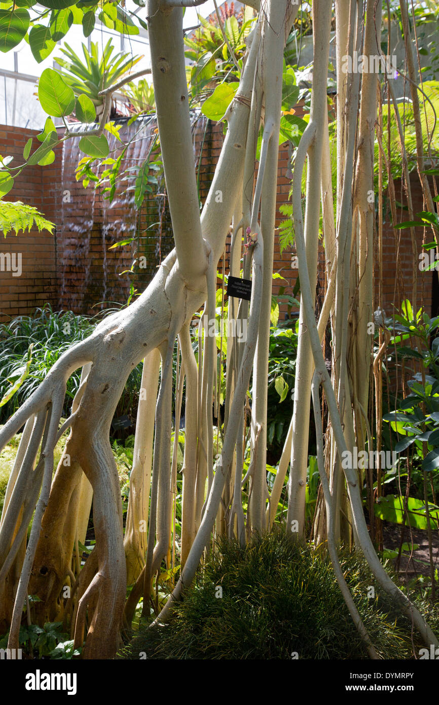 An Indian banyan tree (Ficus benghalensis) in the Tropical House at ...