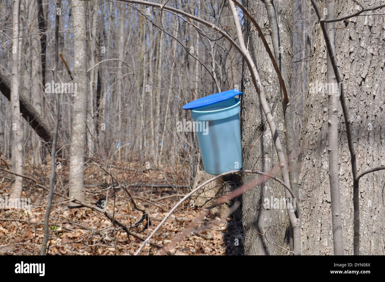 tapping Maple Syrup - Stock Image