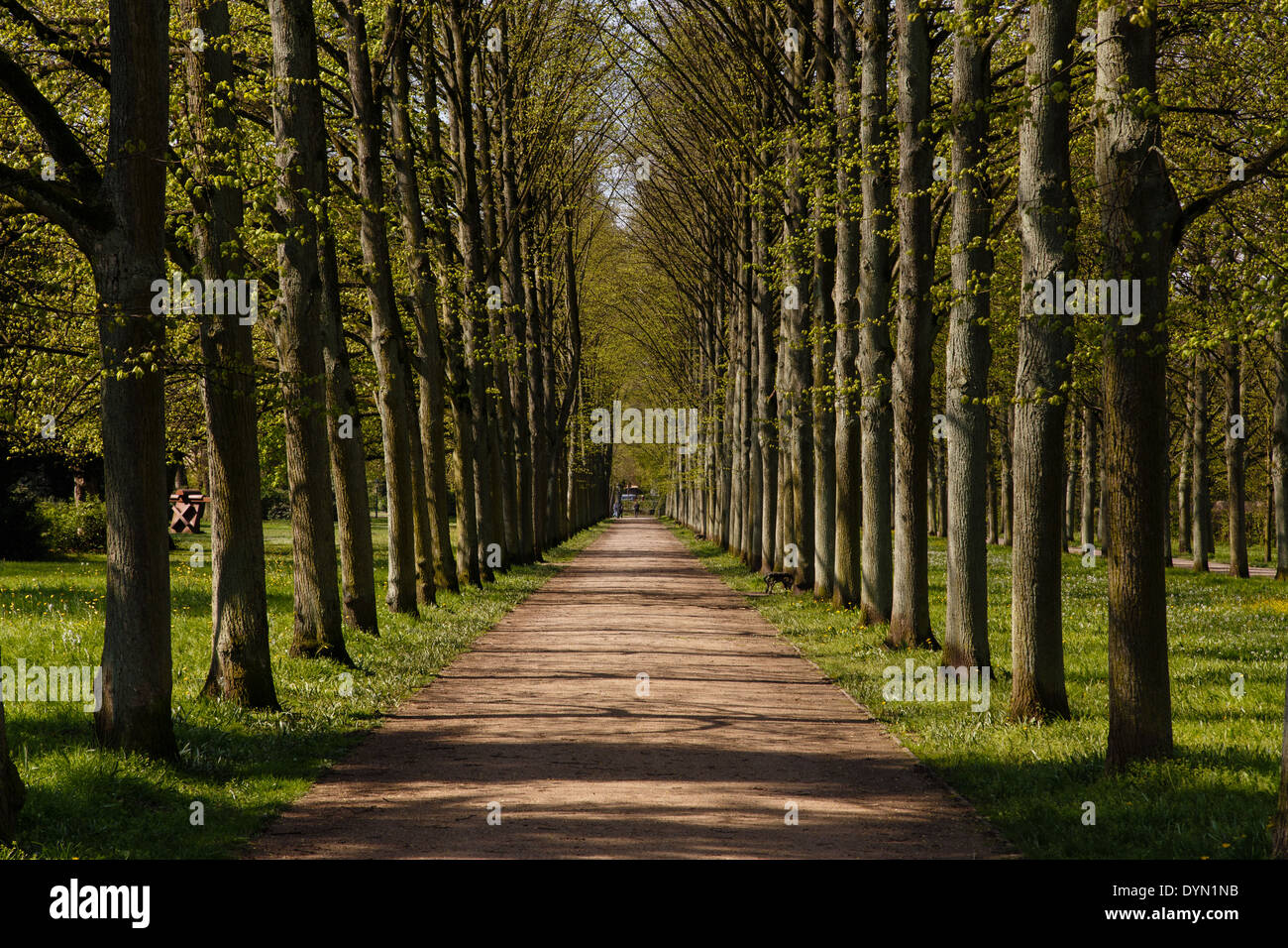 A Photograph Of An Alley Of Linden Trees In The French Garden Stock