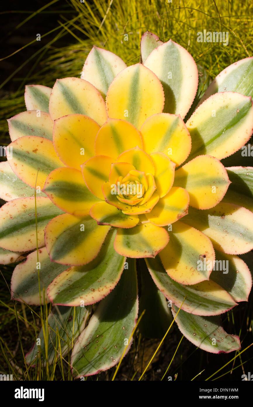 Rosette of the tender succulent, Aeonium holochrysum 'Sunburst' - Stock Image