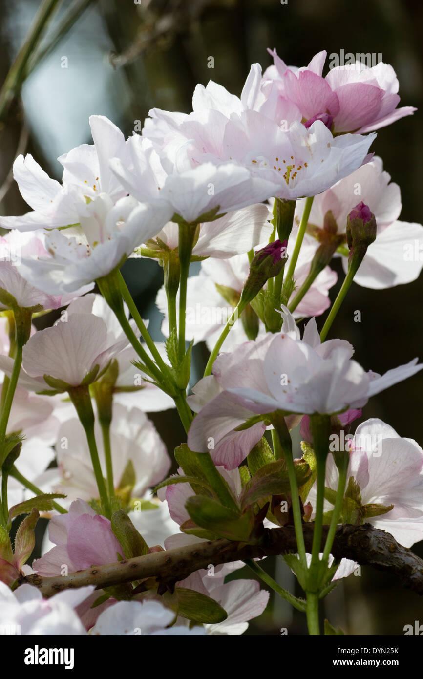 Flowers of the upright Japanese cherry, Prunus 'Amanogawa' - Stock Image