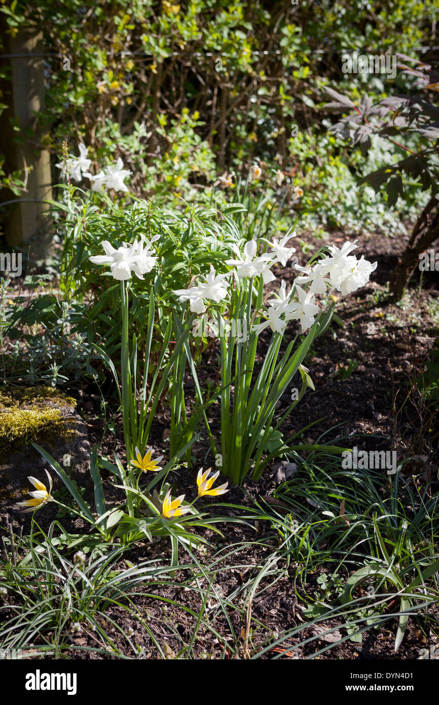 Narcissus Thalia, a pure white daffodil, under planted by Tulipa Dasystemon Tarda growing in a border in Cambridge, England, UK - Stock Image