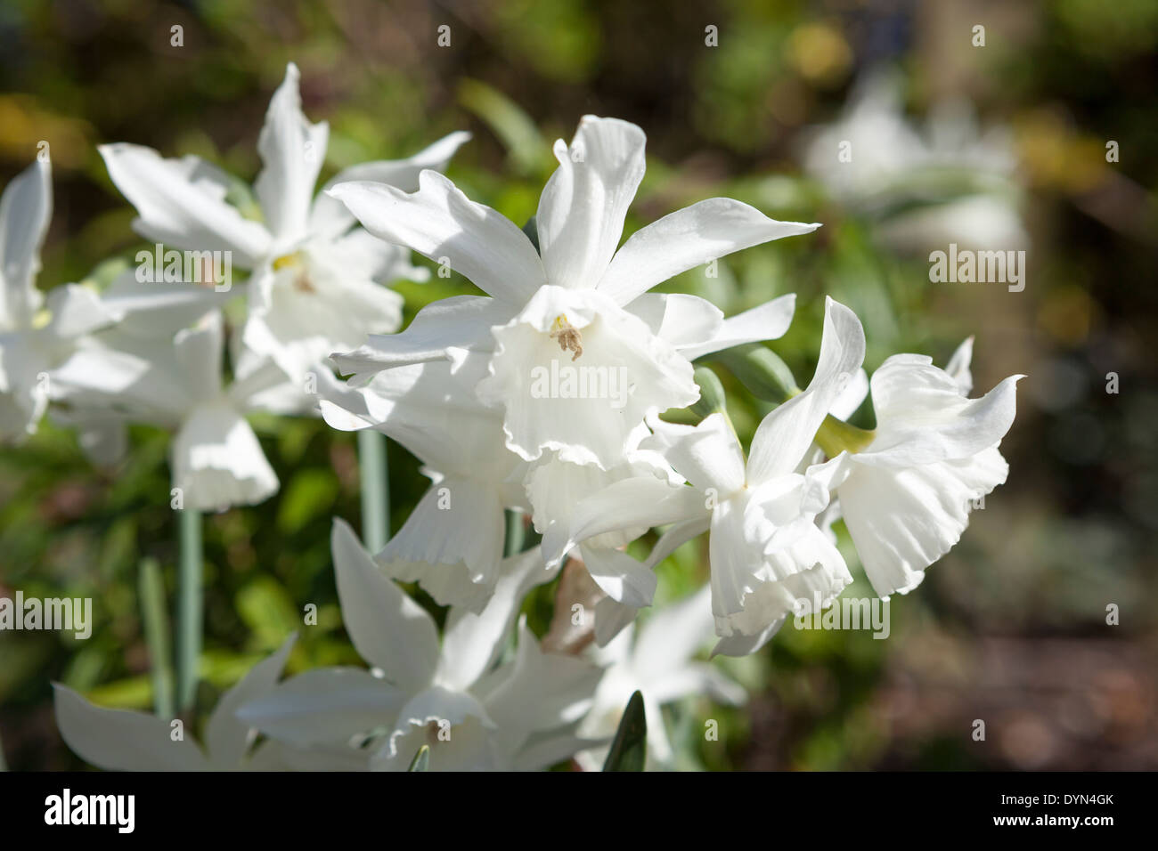 Narcissus Thalia, a pure white daffodil, growing in a border in Cambridge, England, UK - Stock Image