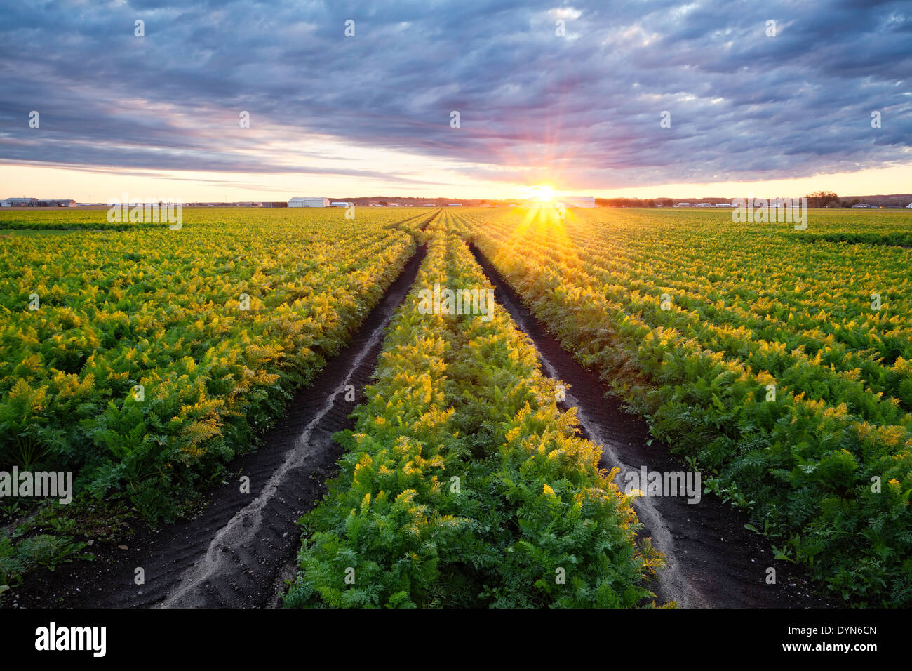 A mature field of carrots in the Holland marsh at sunrise. Bradford West Gwillimbury, Ontario, Canada. - Stock Image