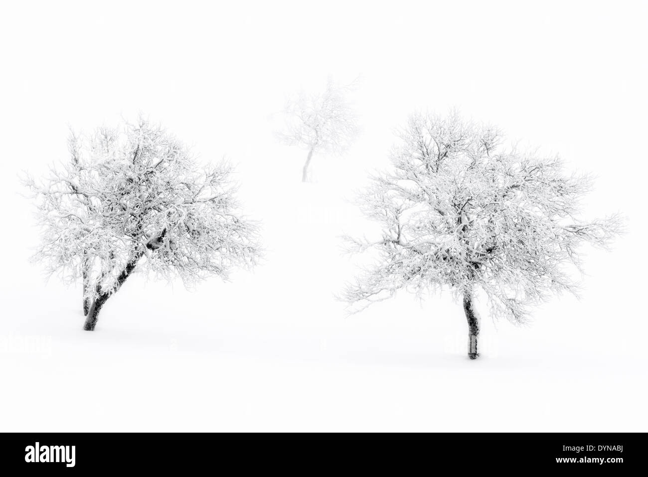 Snowcovered bare trees in winter - Stock Image
