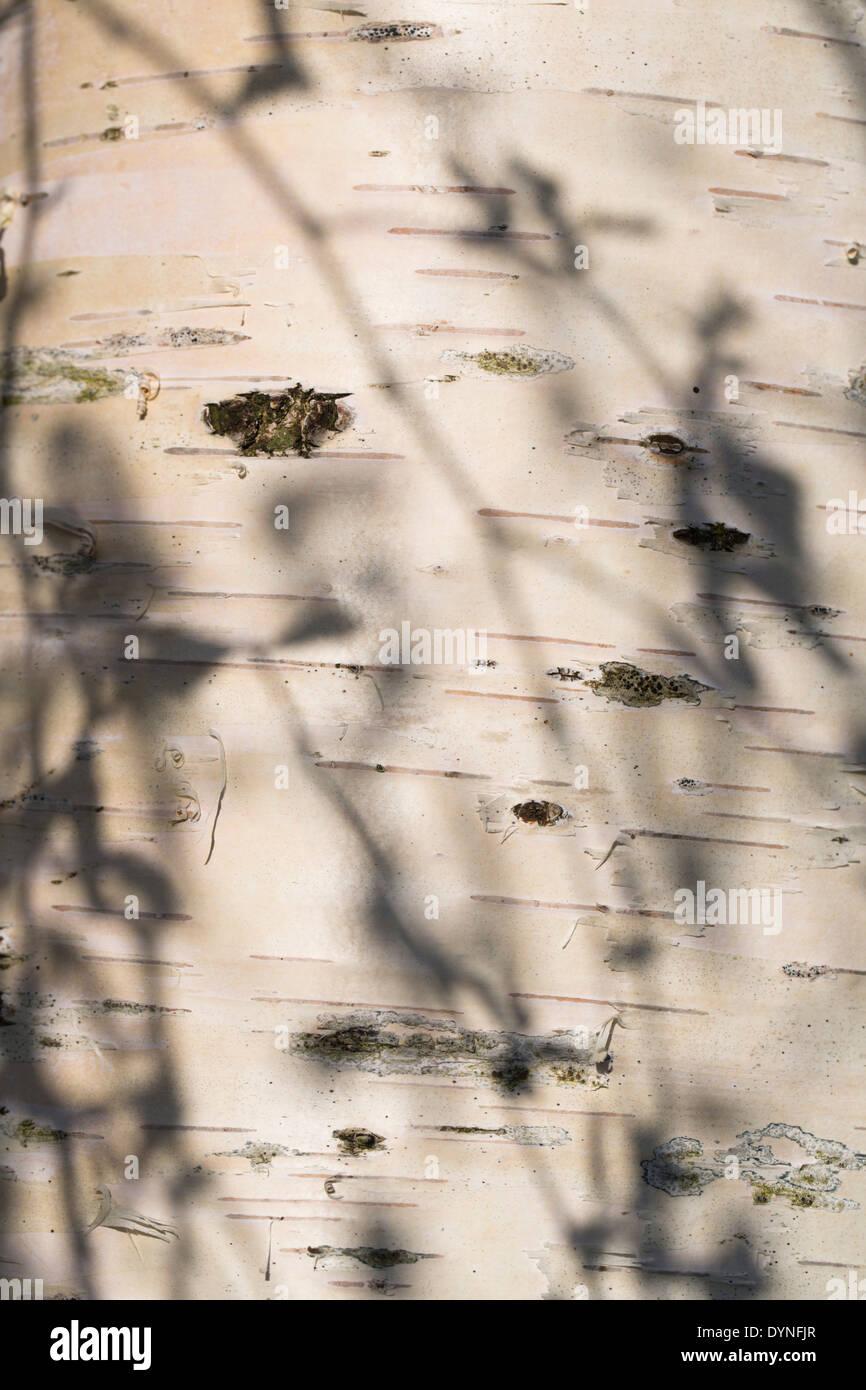 Birch Tree Trunk; Betula pendula; Devon; UK - Stock Image