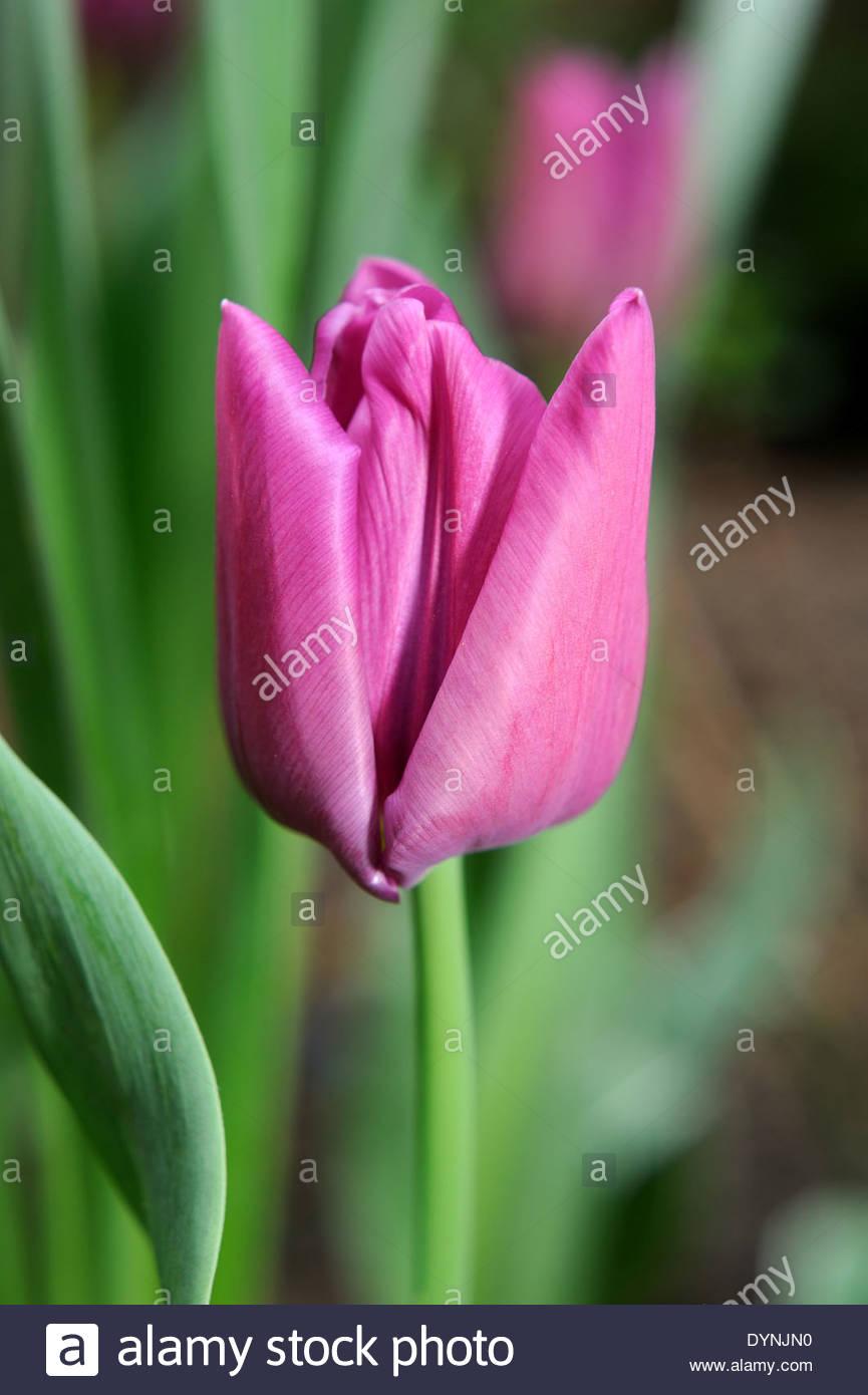 Tulipa 'passionale' tulip. - Stock Image
