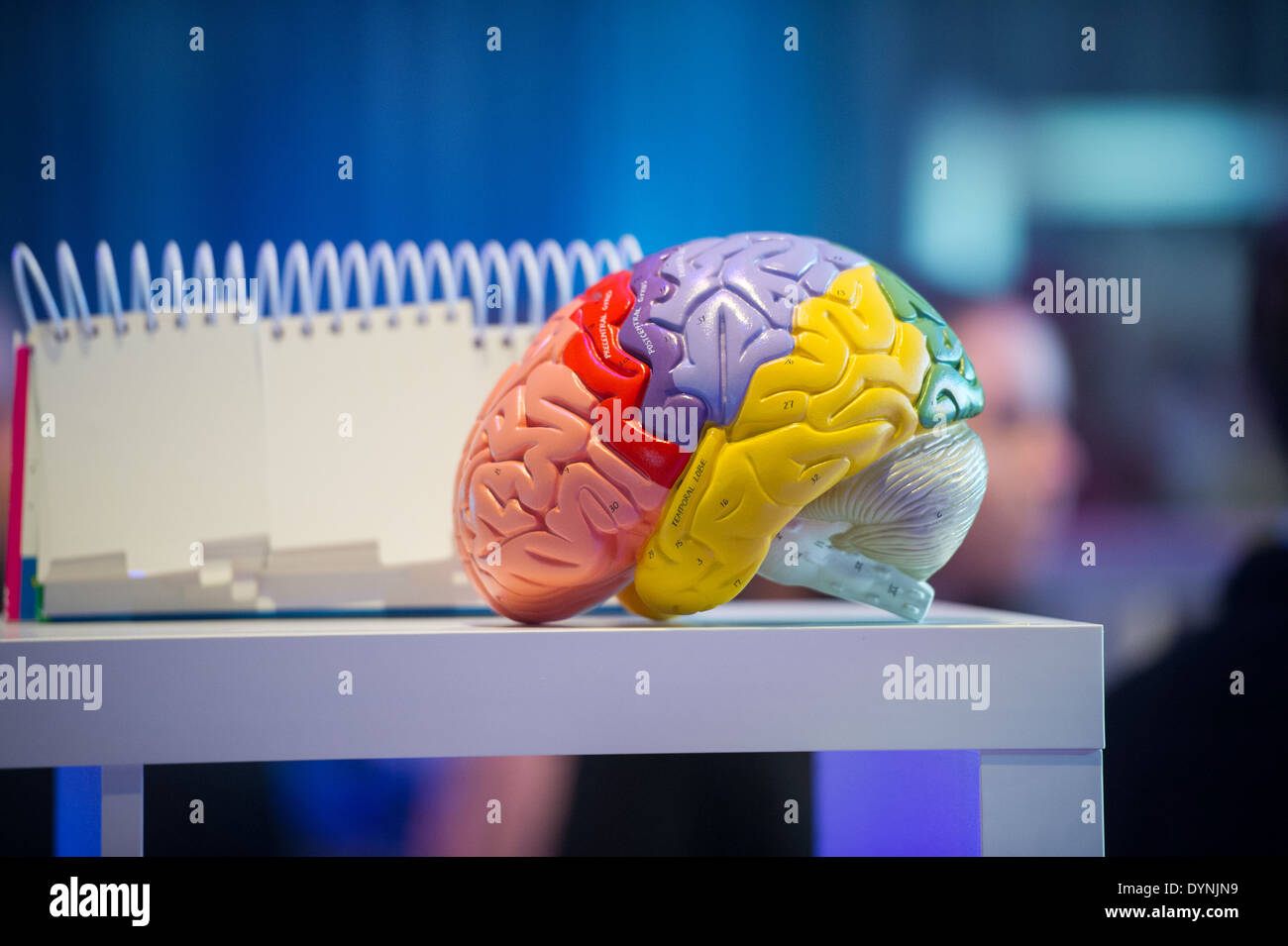 Plastic brain on table in Baltimore, Maryland - Stock Image