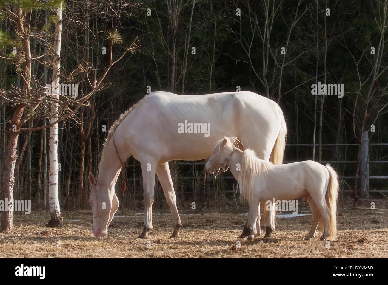 Funny Friends Akhal Teke Mare And Mini Horse Stallion Stock Photo Alamy
