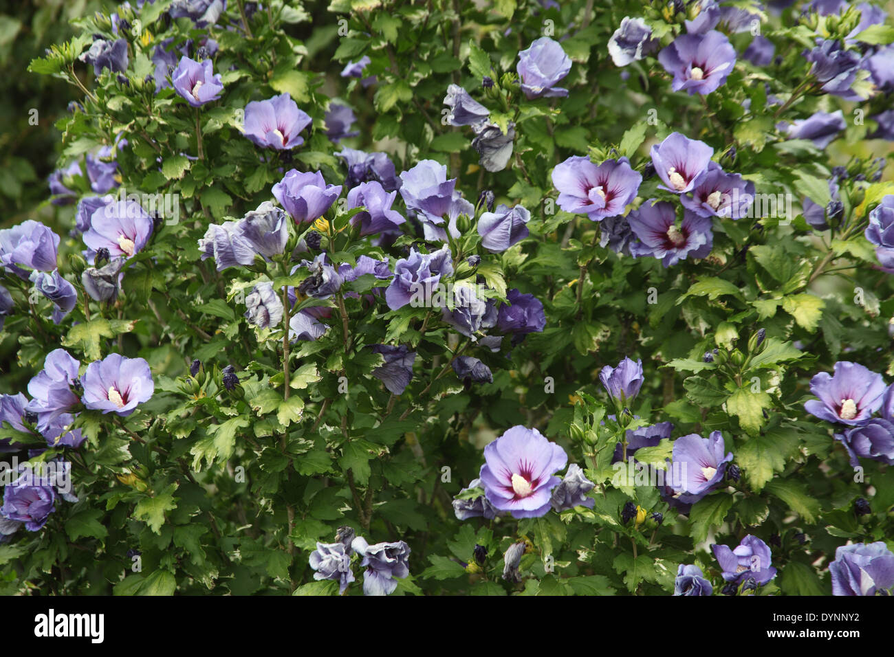 hibiscus syriacus 39 oiseau bleu 39 shrub in flower stock. Black Bedroom Furniture Sets. Home Design Ideas