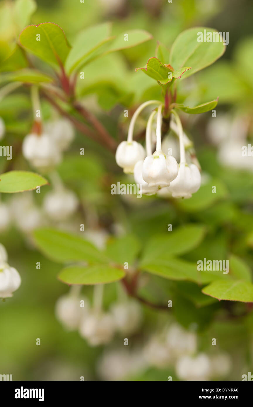 Bell shaped enkianthus enkianthus campanulatus stock photos bell alternate leaves of white enkianthus shrub making a spectacular spring display of delicate small white bell mightylinksfo
